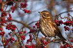 Redwing (Turdus iliacus)